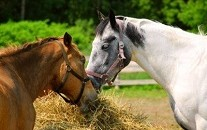 alimentation_cheval