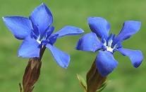 fleurs_bach