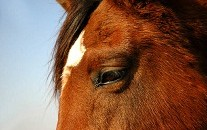 homeopathie_chevaux