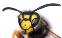 piqûre de guêpe, allergie, abeilles